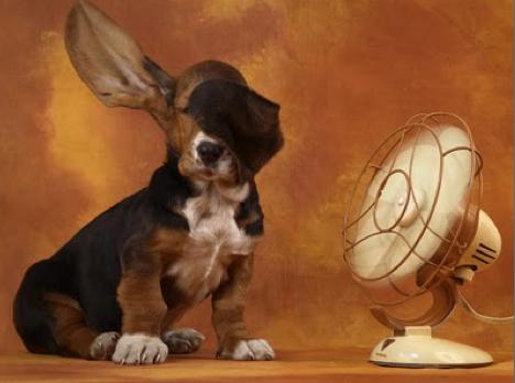 #1 JPEG Basset hound puppy w:fan, Pixdaus, www.ContentinalCottage.blogspot.com